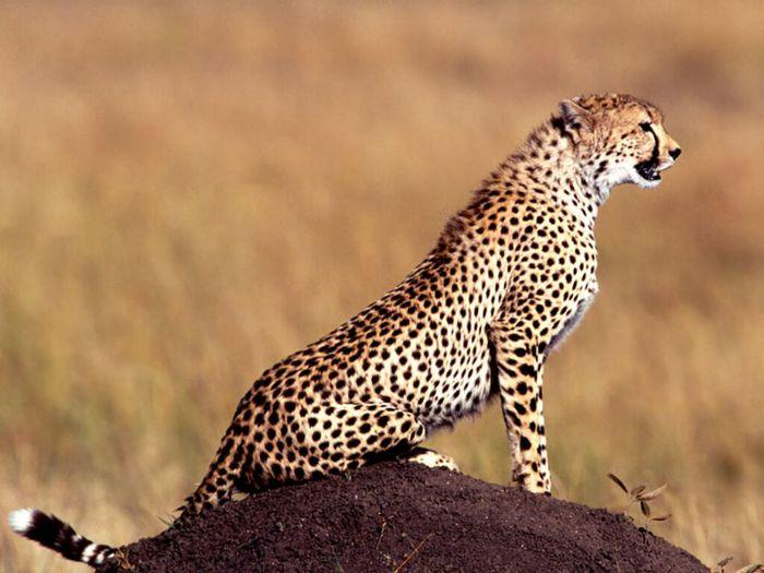 Posture_Cheetah (700x525, 56Kb)