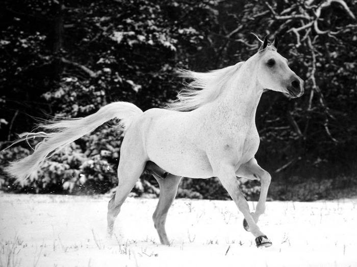 White_Horse (700x525, 93Kb)