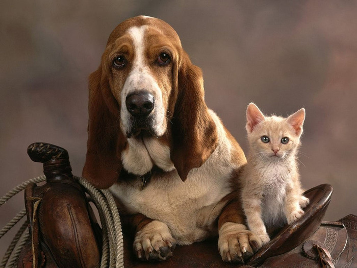 Basset_Dog_and_Kitten (700x525, 109Kb)