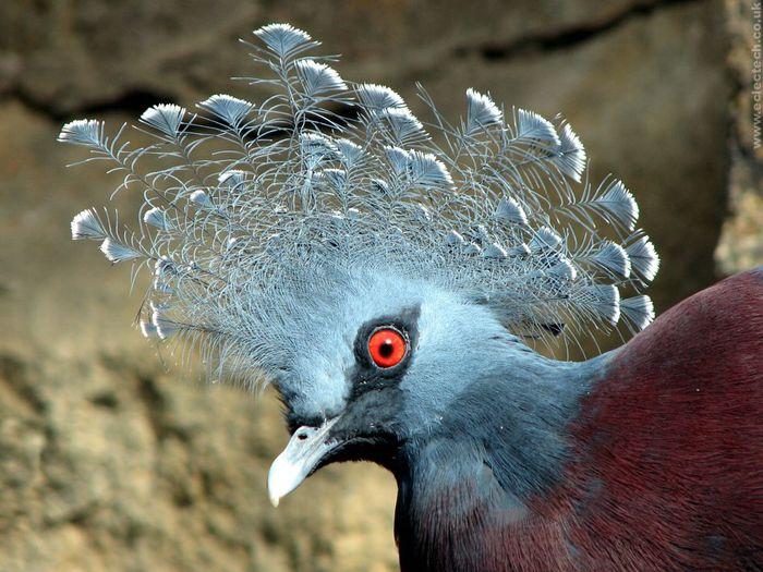 Crowned_pigeon (700x525, 80Kb)