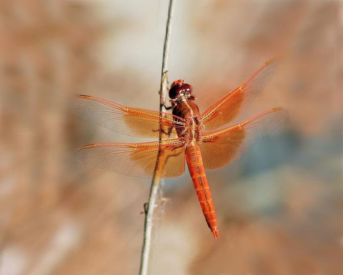Dragonfly (700x560, 75Kb)