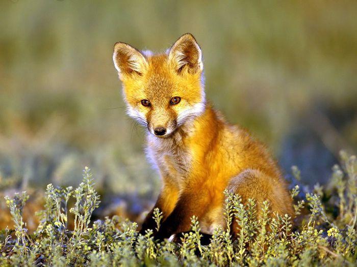 Fox (700x525, 63Kb)