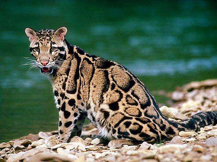Leopard (700x525, 128Kb)