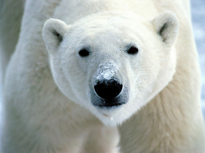 Polar_Bear_Snow (700x525, 68Kb)