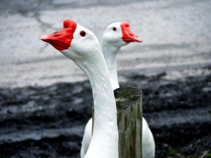 Geese (700x525, 53Kb)