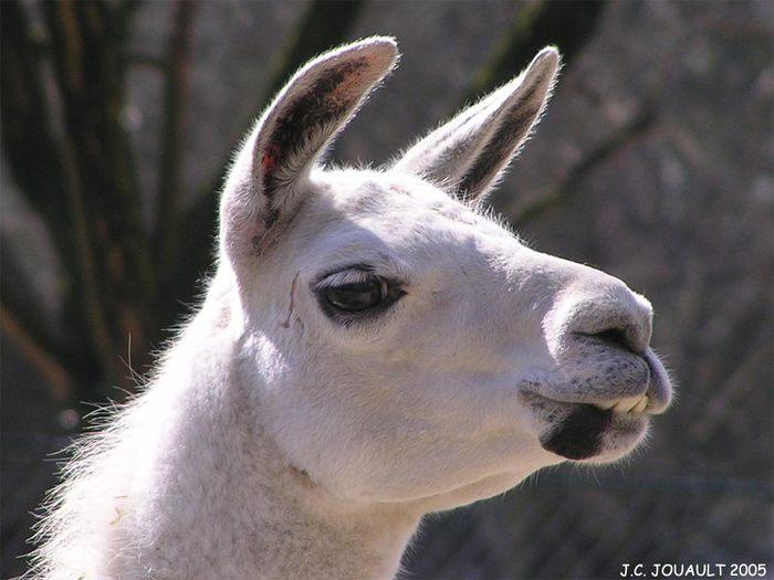 Lama (700x525, 52Kb)