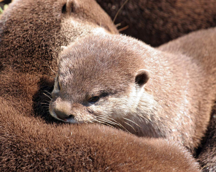 Otters (700x560, 182Kb)