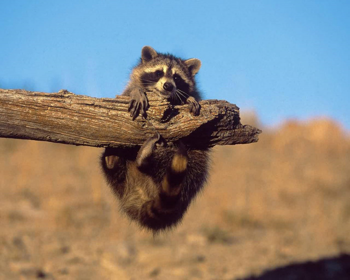Raccoon_Baby (700x560, 97Kb)