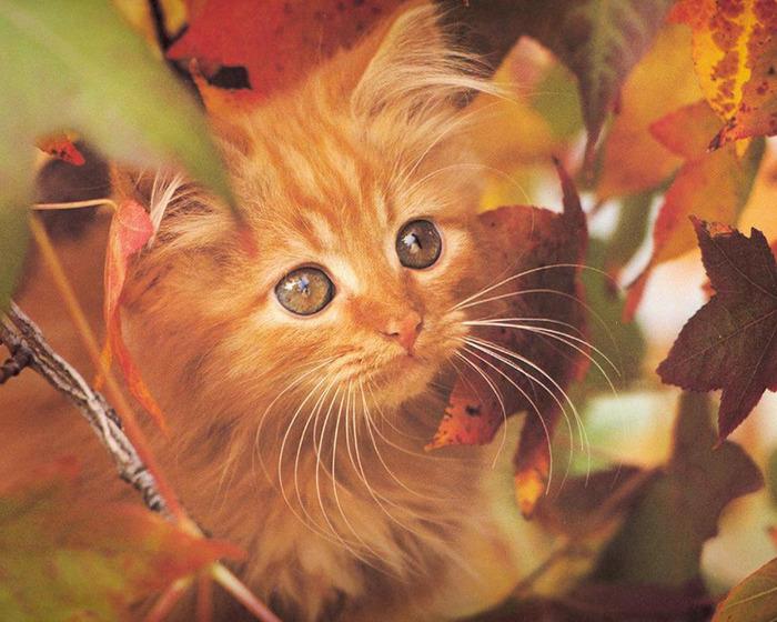 Redhead_kitty (700x560, 150Kb)
