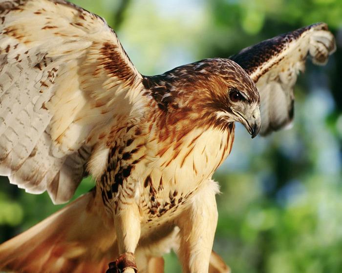 Falconry (700x560, 135Kb)