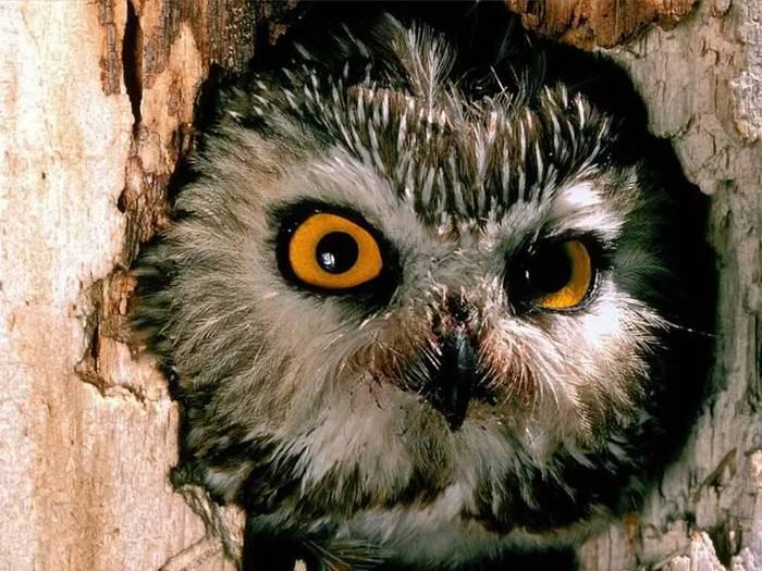 Owl (700x525, 75Kb)