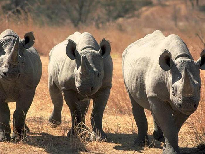 Rhinos (700x525, 65Kb)