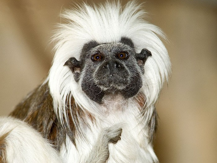 Tamarin_Monkey (700x525, 99Kb)