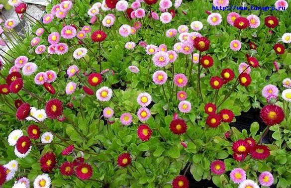 vv_flower_daisy_3_h_orig (585x378, 148Kb)