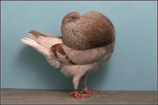 3518263_pigeonschampion133_2jpg (600x400, 43Kb)