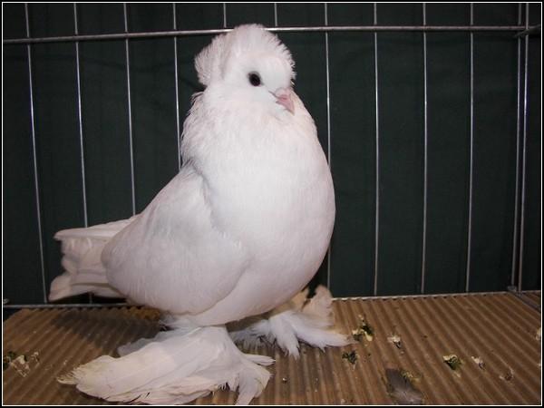 3518263_pigeonshow3_7jpg (600x450, 55Kb)