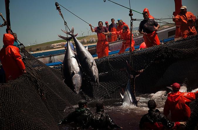 промышленная рыбалка на тунца видео