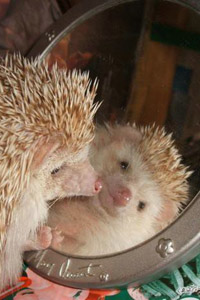 06_hedgehog_and_mirrow (200x300, 21Kb)