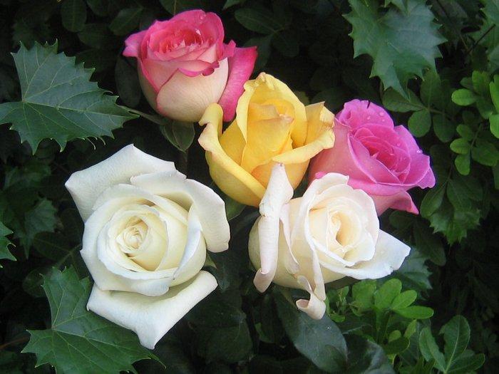 roses_207 (700x525, 64Kb)