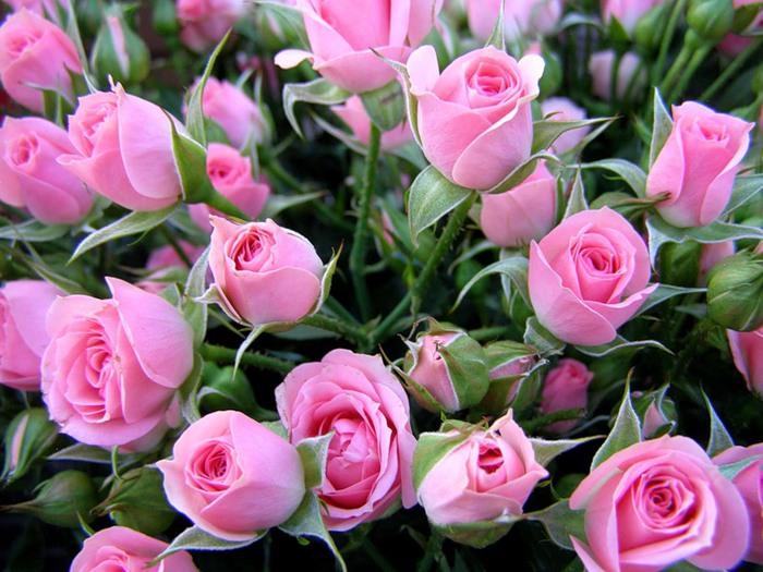 Розы (700x525, 118Kb)