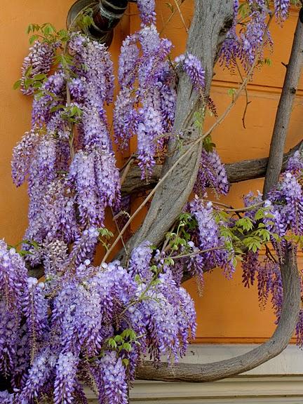 …Ласково цветет глициния - она нежнее инея 90627