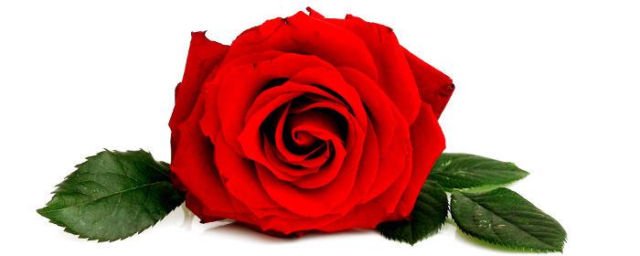 roza (700x280, 35Kb)