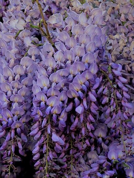 …Ласково цветет глициния - она нежнее инея 53726