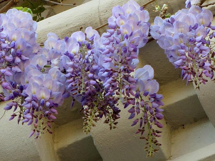 …Ласково цветет глициния - она нежнее инея 20442