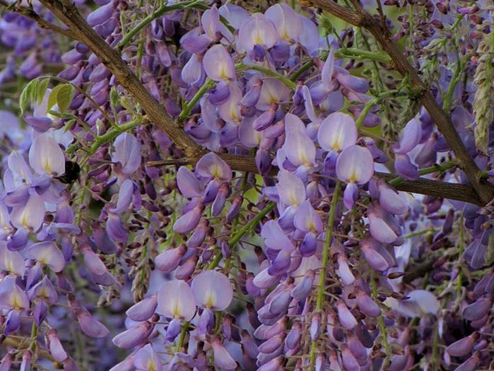 …Ласково цветет глициния - она нежнее инея 61790