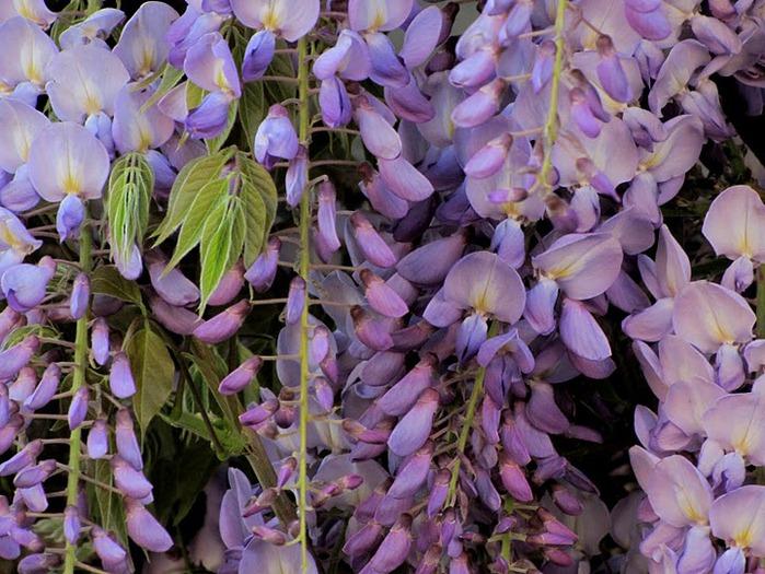 …Ласково цветет глициния - она нежнее инея 27298