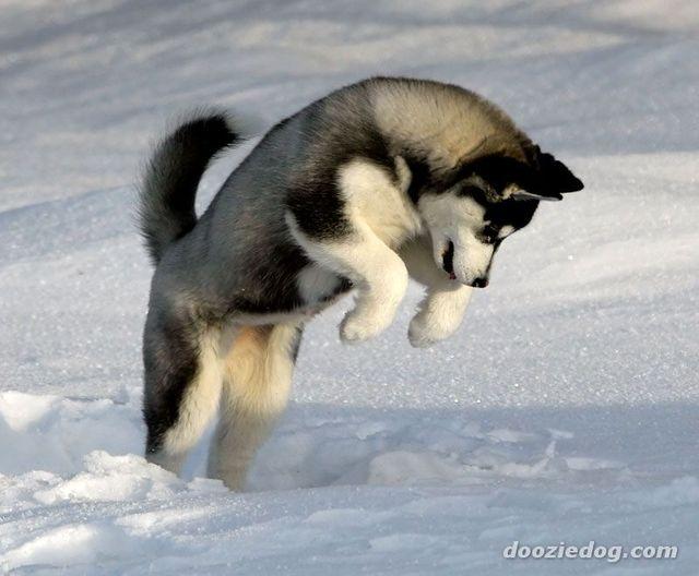 siberian-husky-puppy-5 (640x528, 44Kb)