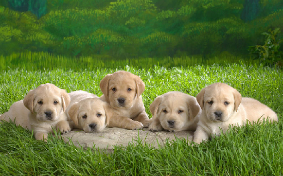 Proshots - Young Lab Puppies - Professional Photos (550x342, 491Kb)