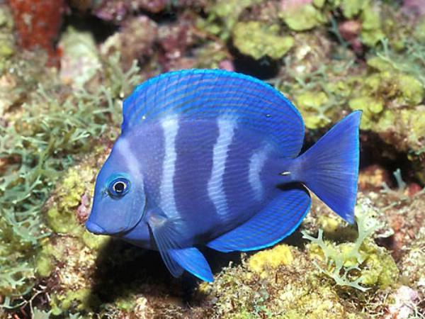 fancy-fish19 (600x450, 90Kb)