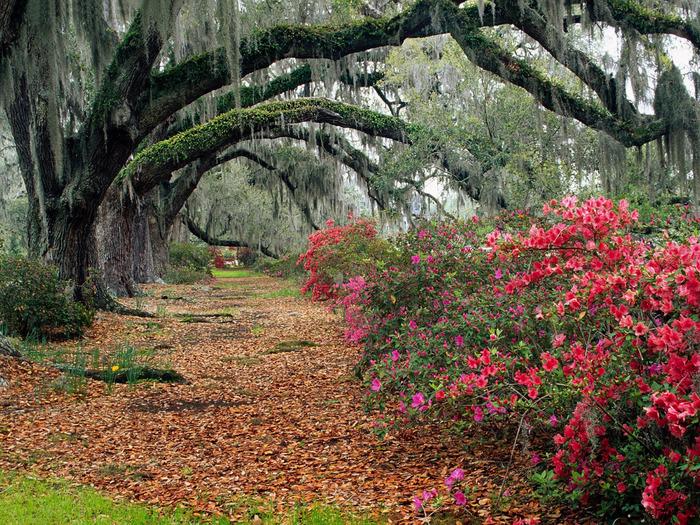 6-azaleas-and-live-oaks-magnolia-plantation-char (700x525, 292Kb)