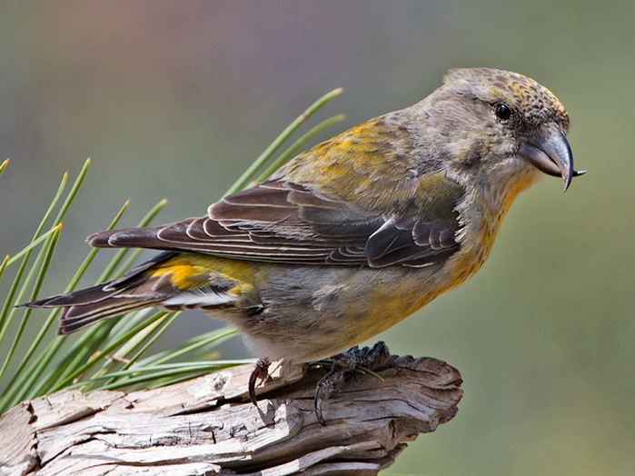 Crossbill, Red at Deschutes Alan_D_Wilson_4609a (700x524, 128Kb)