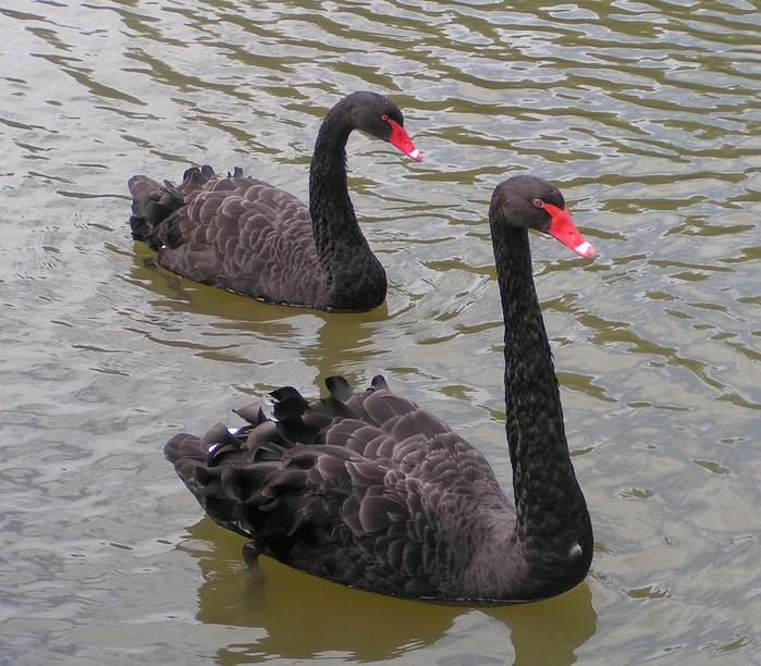 Black_Swans (700x612, 137Kb)