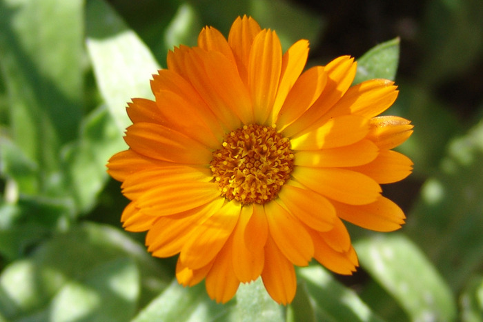 calendula_officinalis (700x467, 95Kb)