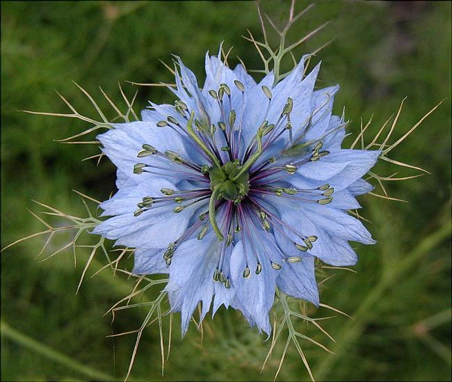 4216969_nigellaflowers (650x549, 232Kb)