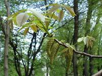 цветёт грецкий орех/683232_gr_oreh_tsvetyot_m (200x150, 13Kb)