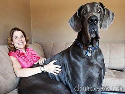 Самый большой пес в мире весит 111 кило! (ФОТО)/3826117_biggest_dog_3 (400x300, 23Kb)