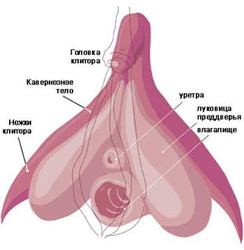 клитор и половые губы женщин: