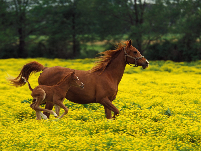 runninghorses1236 (700x525, 167Kb)