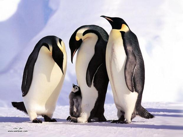 pinguin21-620x465 (620x465, 59Kb)