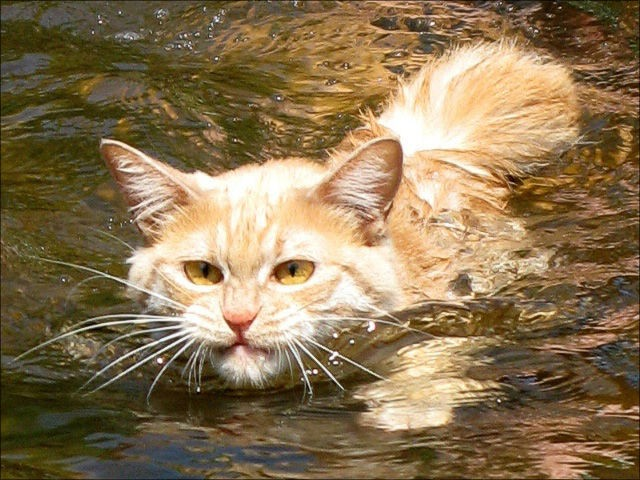 Swin_cats_01 (640x480, 89Kb)