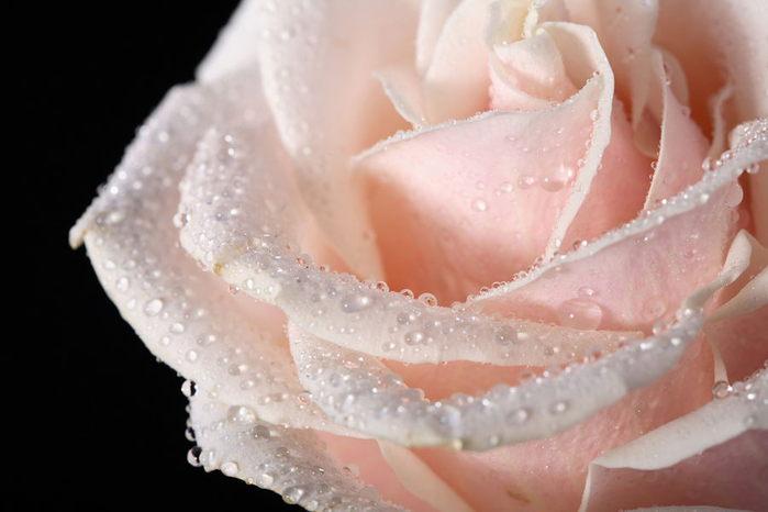 1270486828_4_flowers_rose_006 (700x466, 40Kb)