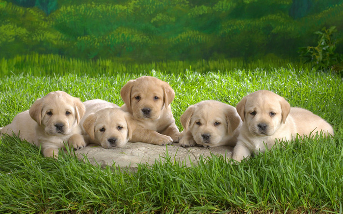 Animals_Dogs_Cute_puppies_013706_ (700x437, 159Kb)
