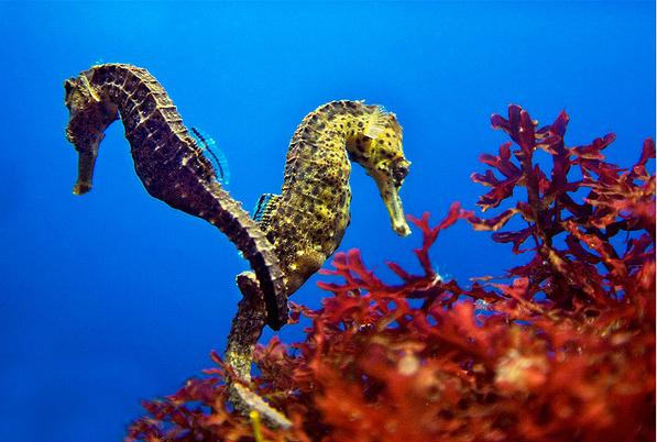 seahorse2 (597x402, 272Kb)