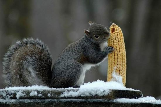 Белка ест кукурузу (550x365, 27Kb)