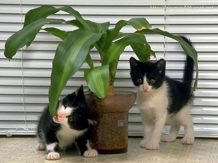 1263430713_pussy-cat-photography-desktop-0173_1024x768 (700x525, 55Kb)