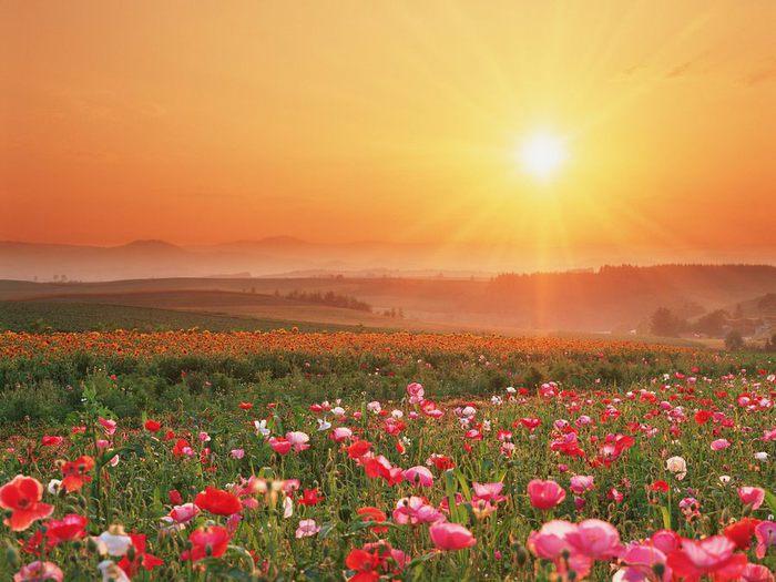 Flowering_Field (700x525, 69Kb)
